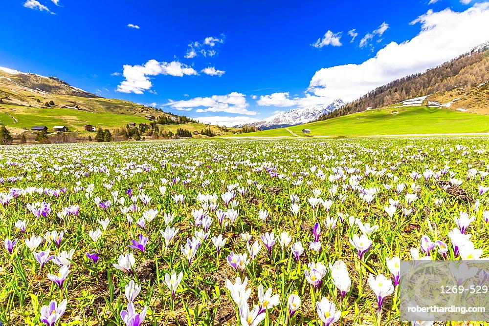 Flowering of Crocus nivea in Val Radons (Radons Valley), Albula region, Canton of Grisons (Graubunden), Switzerland, Europe