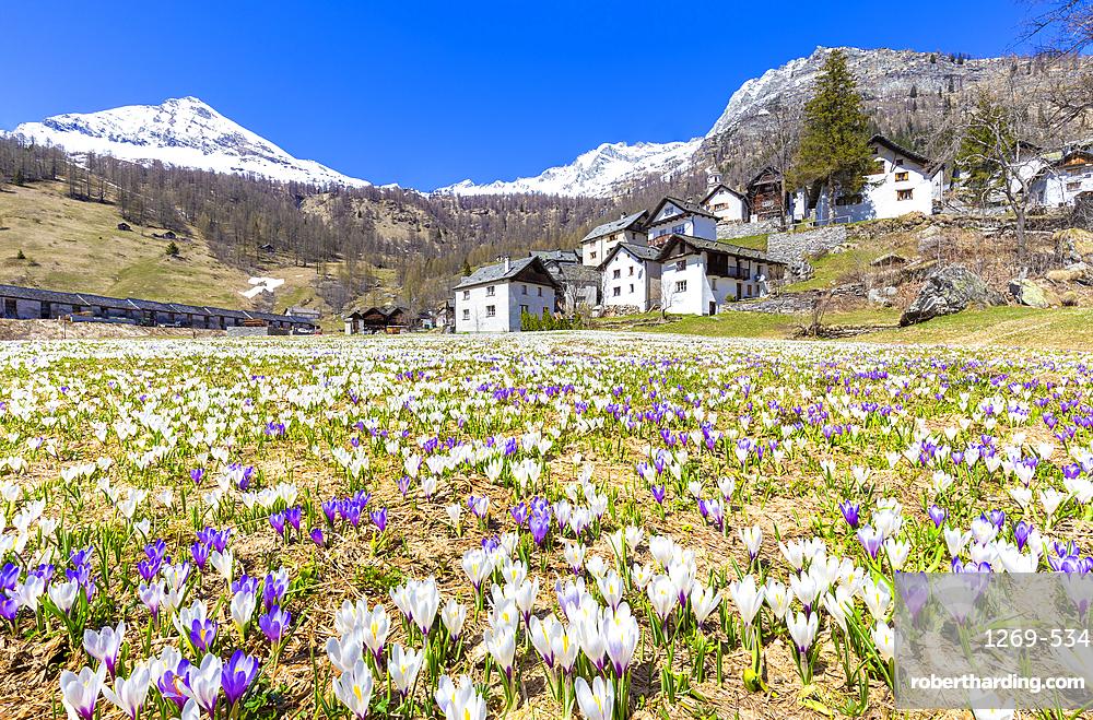 Flowering of Crocus nivea in Bosco Gurin, Vallemaggia, Canton of Ticino, Switzerland, Europe
