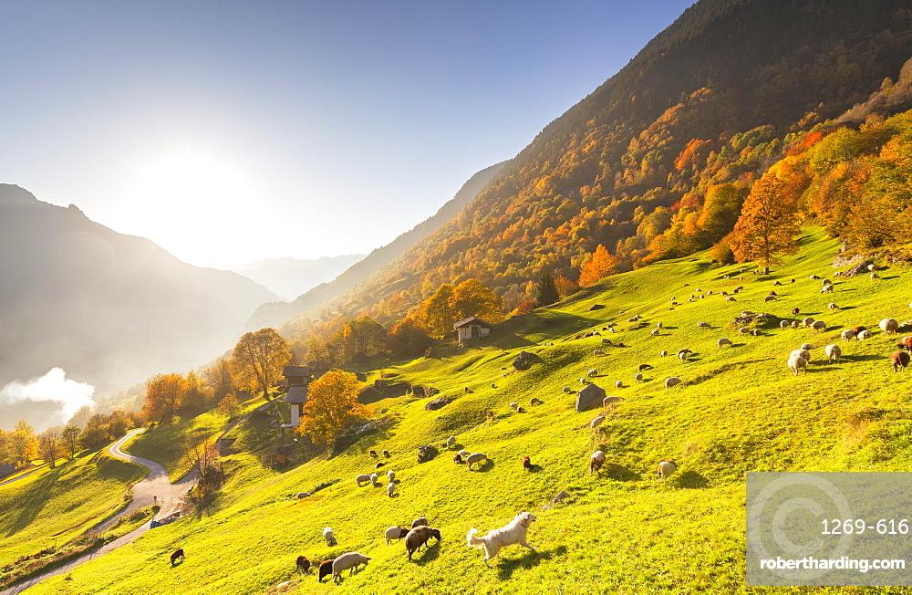 Grazing of sheep in the meadows with a white dog in autumn, Soglio, Bregaglia valley, Graubunden, Switzerland, Europe