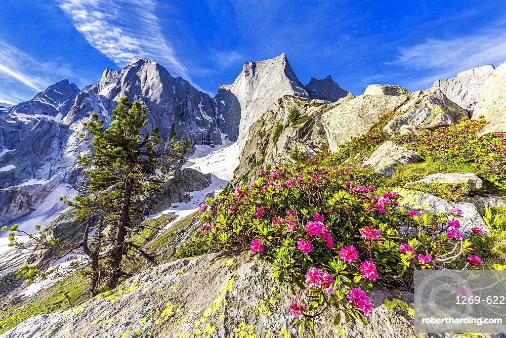 Rhododendrons in flower with the Pizzo Badile in the background, Bregaglia valley, Graubunden, Switzerland, Europe