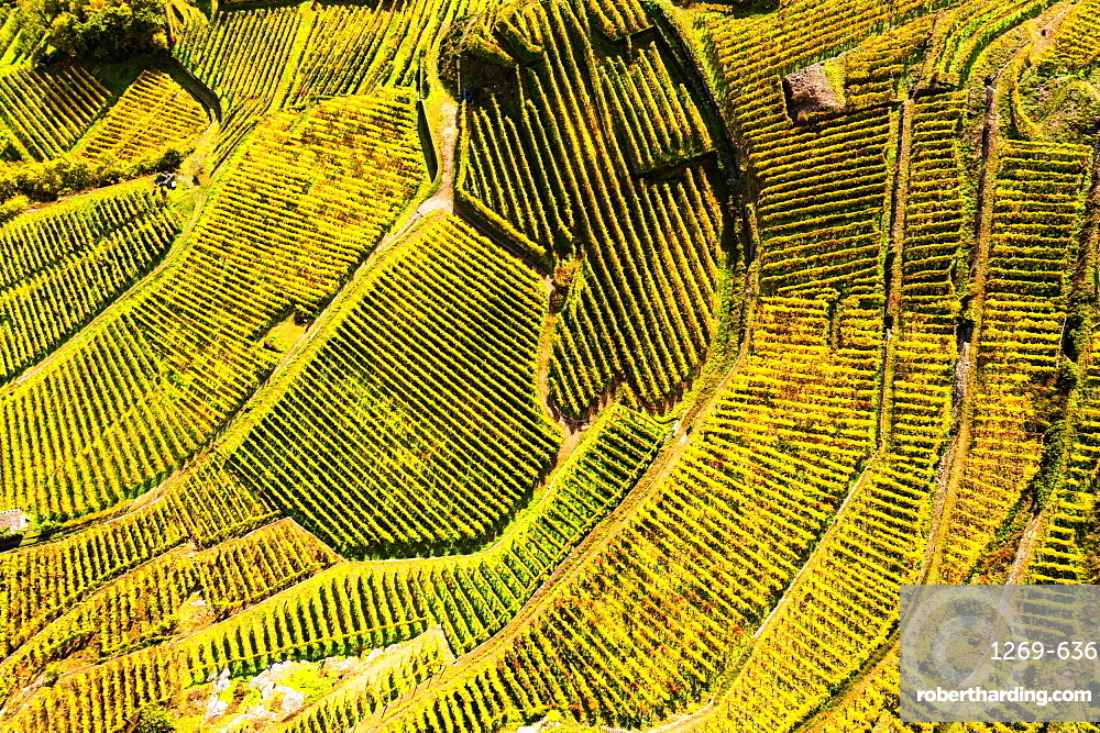 View by drone of top-down high angle view of vineyards, Valtellina, Lombardy, Italy, Europe