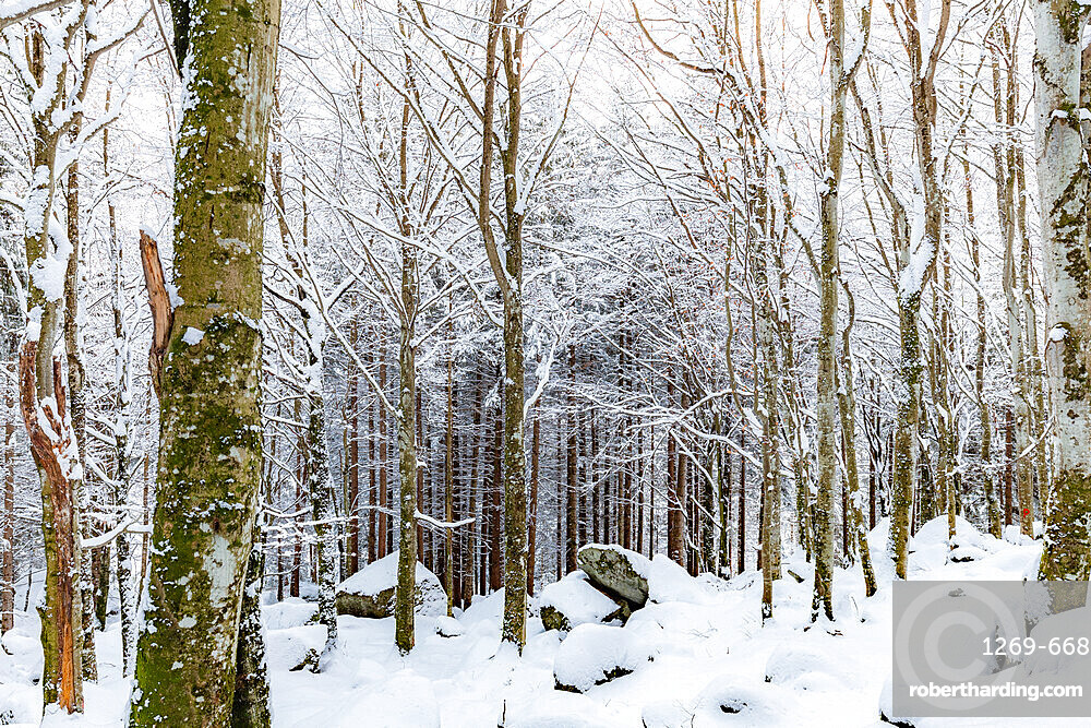 Forest of Bagni di Masino after a snowfall, Bagni di Masino, Valmasino, Valtellina, Lombardy, Italy, Europe