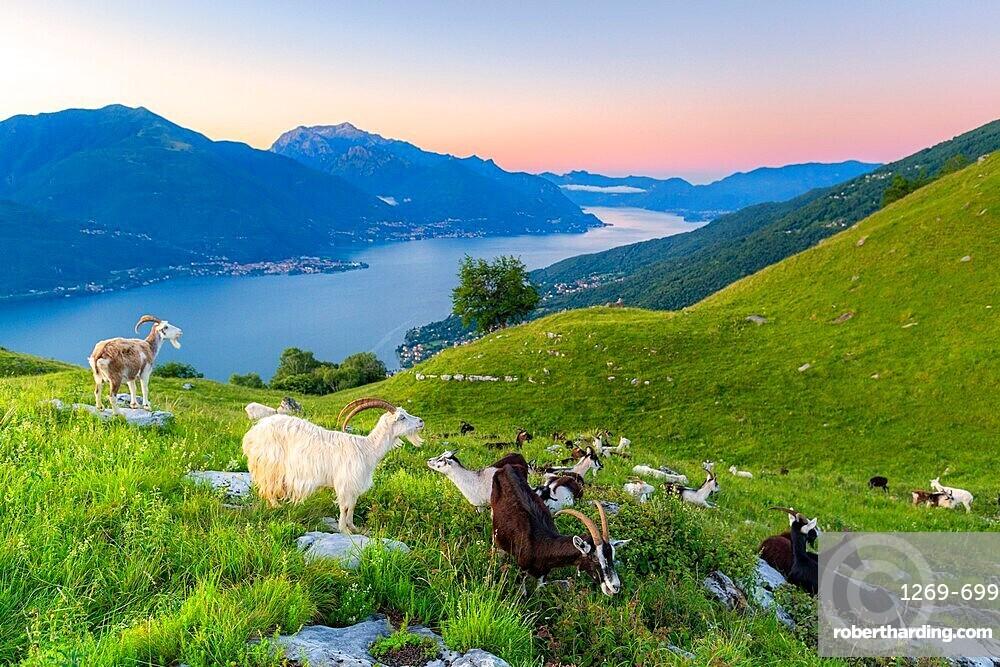 Goats at pasture eating and Lake Como at sunrise, Musso, Lake Como, Lombardy, Italian Lakes, Italy, Europe