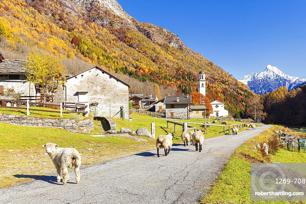 Sheep walk on the road near a mountan village, Val Bodengo, Valchiavenna, Valtellina, Lombardy, Italy, Europe