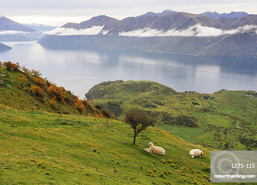 Rural landscape of sheep resting on grass with mountain view, Wanaka, Otago, South Island, New Zealand, Pacific