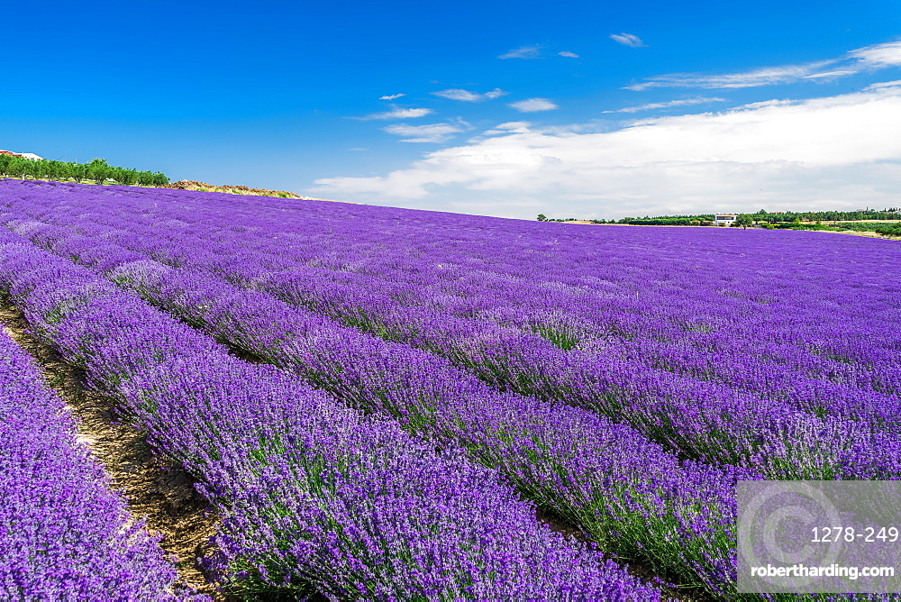 Lavender field with magenta colors landscape against blue sky with clouds. Blooming Lavandula flowers with violet bushes.
