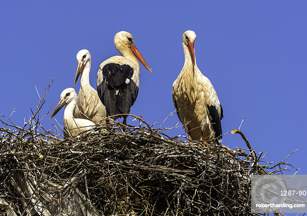 White storks (Ciconia ciconia), nesting on the top of electric pylons, Algarve, Portugal, Europe