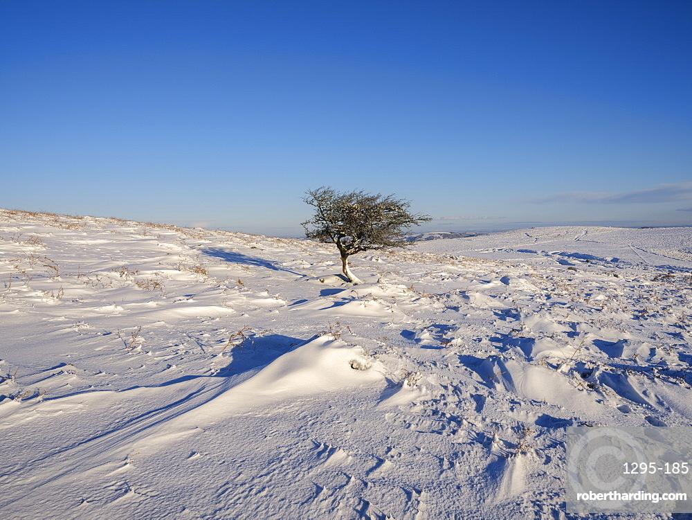 Hawthorn in snow, Haytor, Bovey Tracey, Devon, England, United Kingdom, Europe