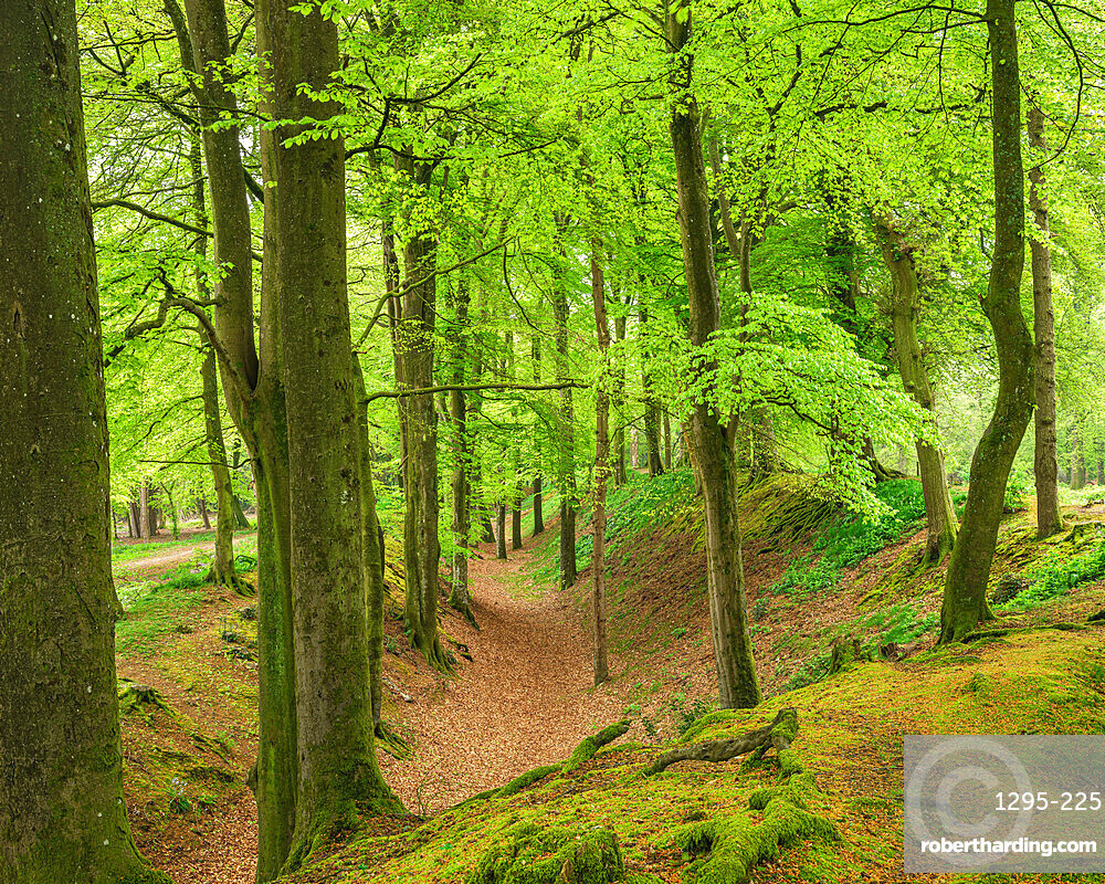 Beech trees with their first leaves of Spring In the deep gulley at Woodbury Castle, near Exmouth, Devon, UK.