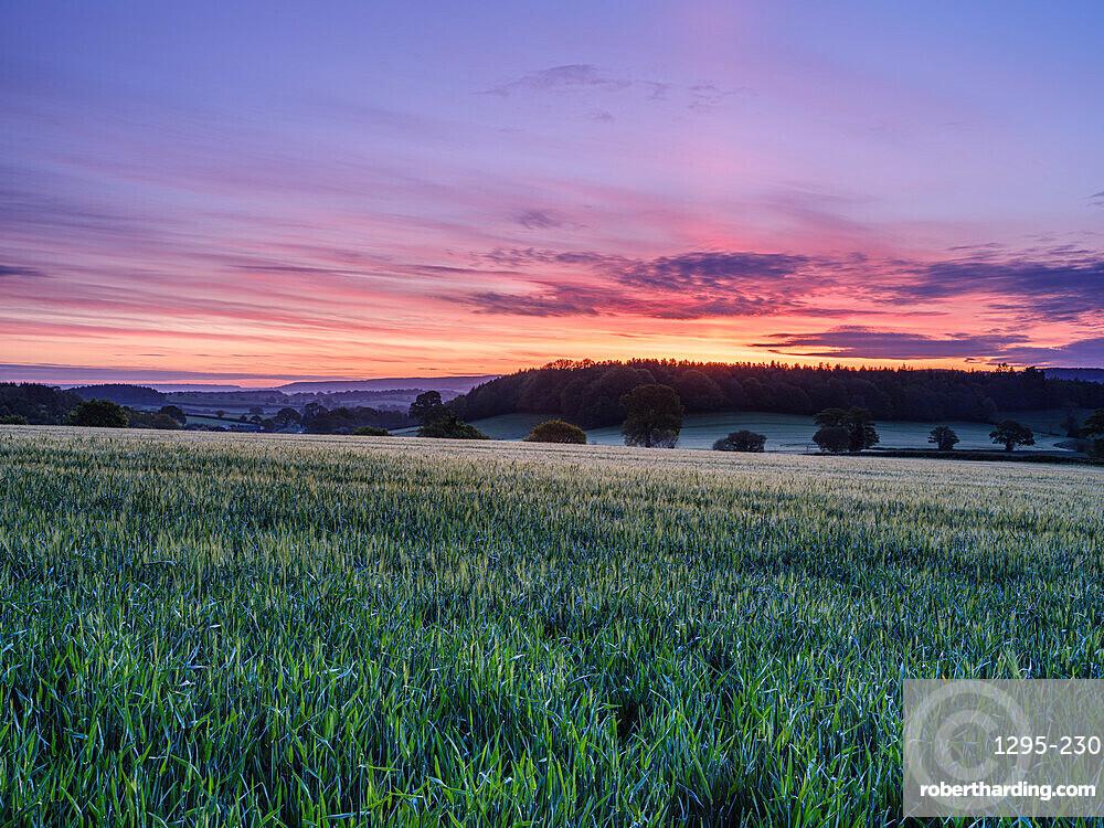 Dawn sky over a field of Barley at Stowford, near Exmouth, Devon, UK