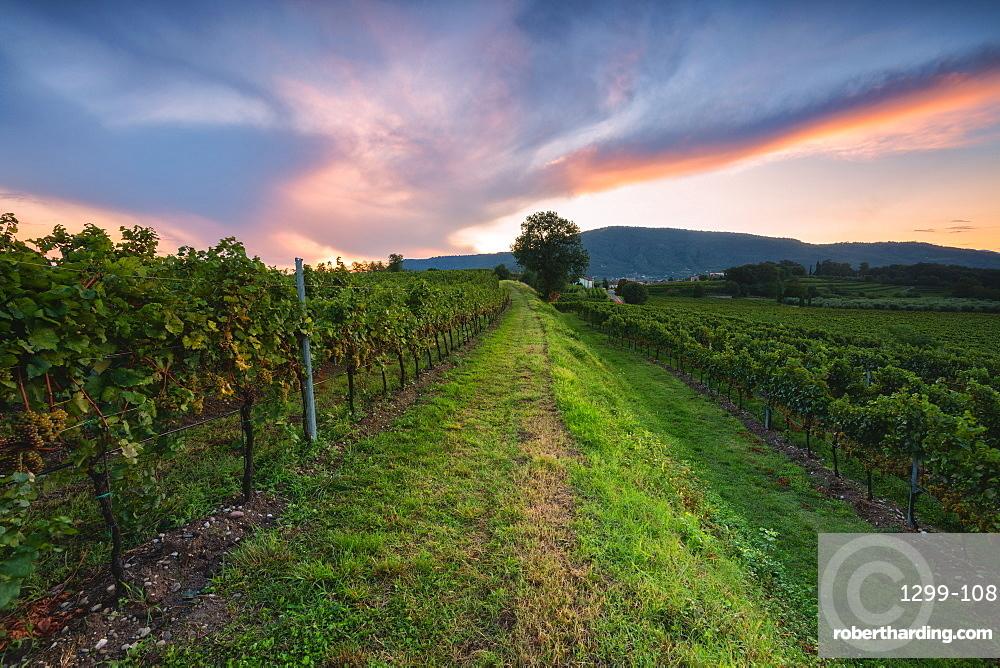 Vineyard at sunset in Franciacorta, Italy, Europe
