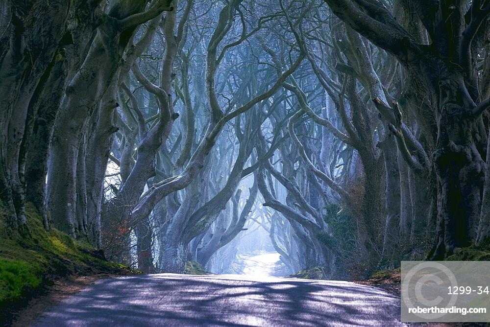 The Dark Hedges in North Ireland, Ballymoney, Ulster, Northern Ireland, United Kingdom, Europe