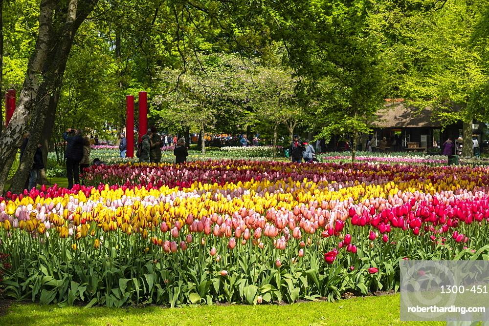 Tulip fields and flowers in Kuekenhof in Lisse