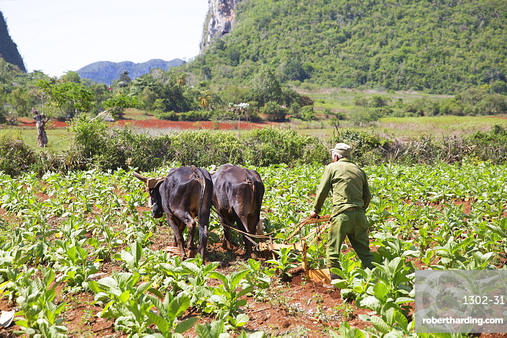 Tobacco farm for Cuban cigars in Vinales, Cuba, West Indies, Caribbean, Central America