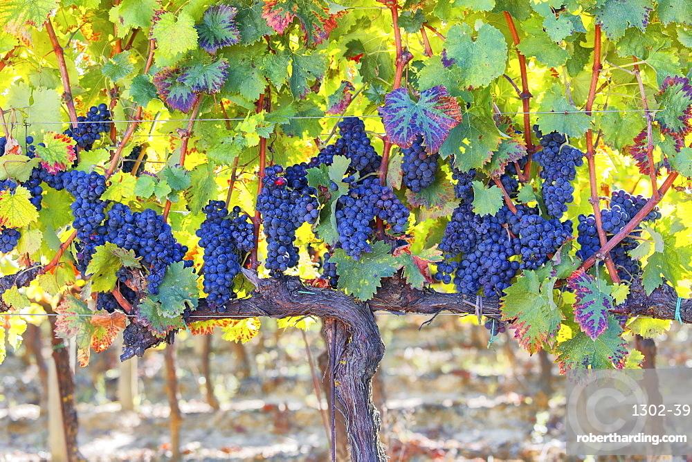 Vineyards of Sagrantino di Montefalco in autumn, Umbria, Italy, Europe