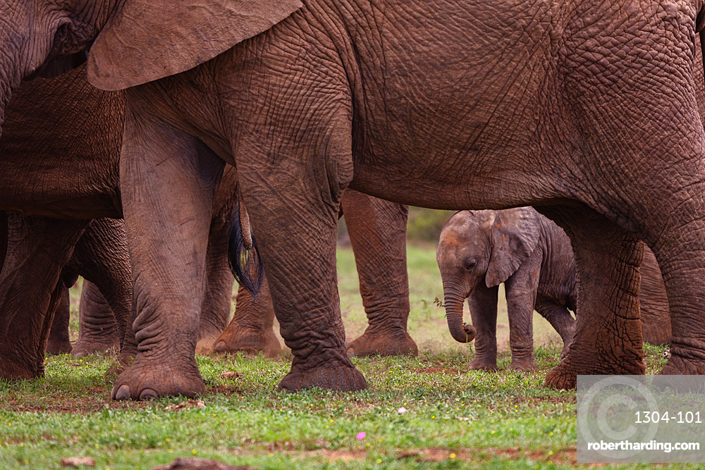 Baby Elephant in Addo Elephant Park, South Africa, Africa