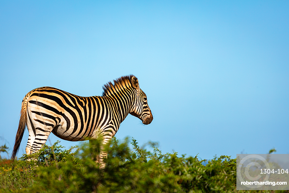 Zebra on Safari, South Africa, Africa