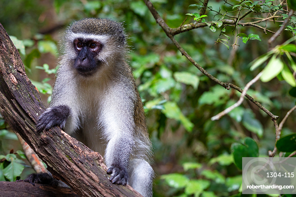 Vervet Monkey, in a South Africa Sanctuary, South Africa, Africa
