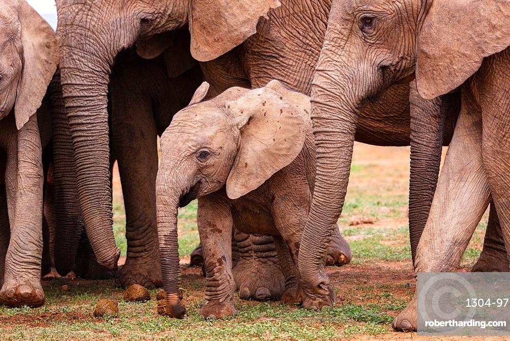 Elephants at Addo Elephant Park in South Africa, Africa