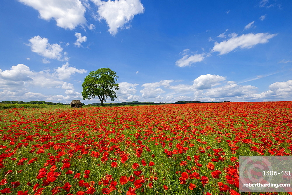 Beautiful red and white poppies in the Derbyshire countryside, Baslow, Derbyshire, England, United Kingdom, Europe