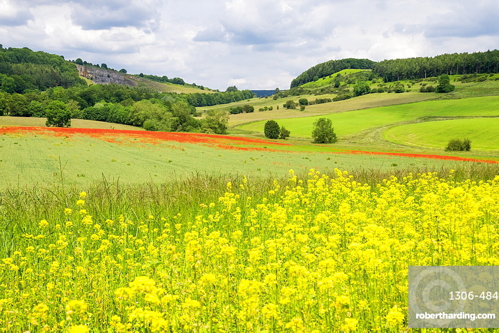 Poppy field with oil seed rape set in beautiful Derbyshire countryside, Baslow, Derbyshire, England, United Kingdom, Europe