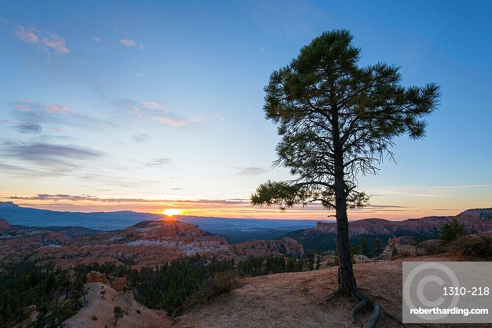 Pine tree on clifftop above the Queen's Garden near Sunrise Point, sunrise, Bryce Canyon National Park, Utah, United States of America, North America