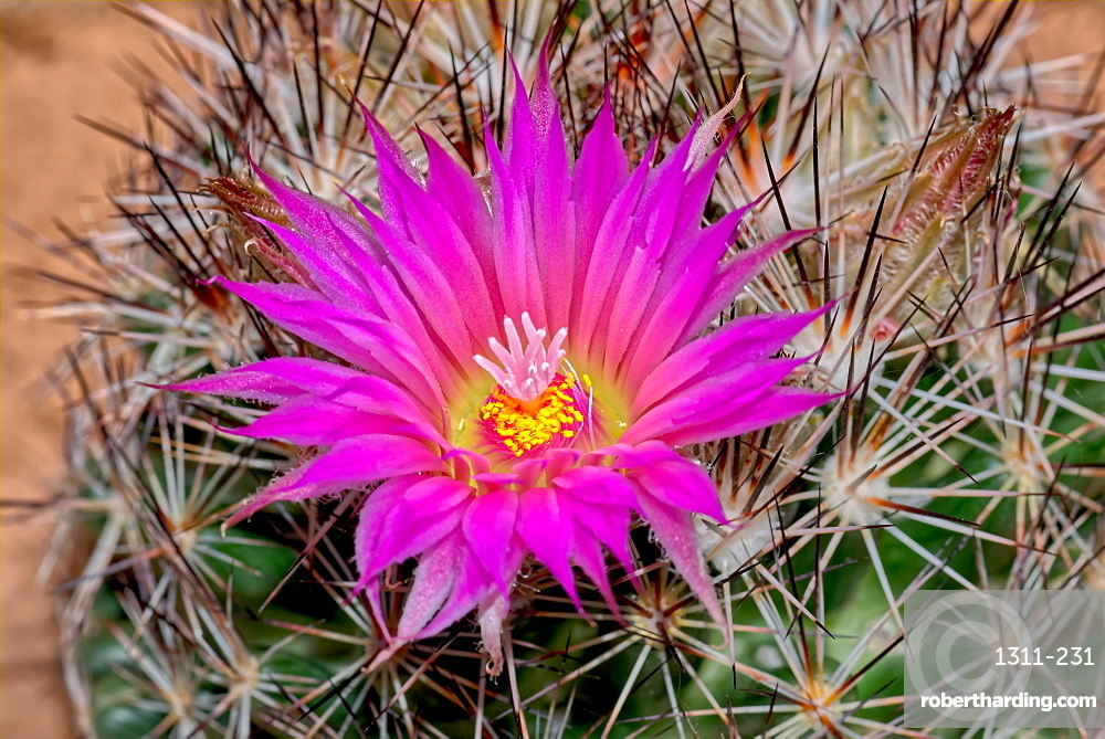 Flower of the Escobaria Vivipara cactus, also known as the Pin Cushion Cactus. This cactus ranges from Mexico to southern Canada