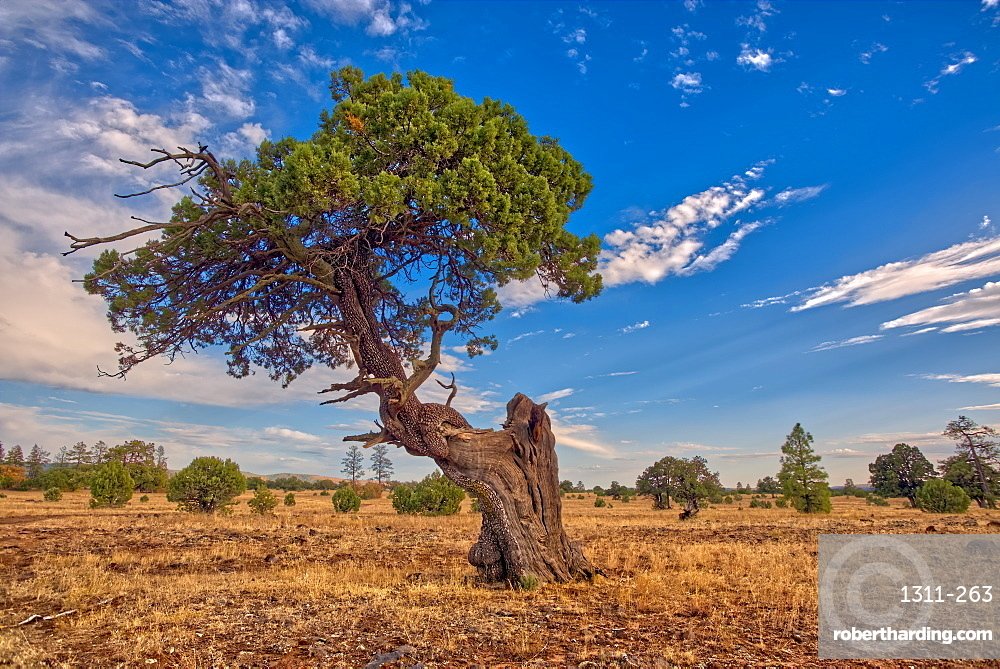 A twisted Juniper Tree near Sycamore Canyon in the Kaibab National Forest south of Williams, Arizona, United States of America, North America