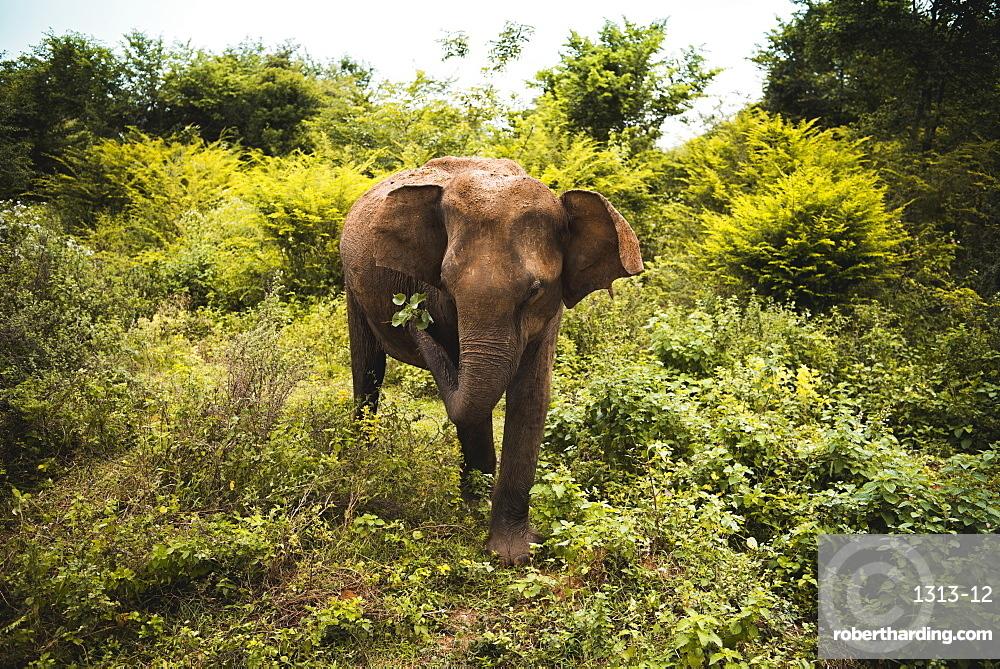 An elephant shakes leaves free of dirt, Udawalawe National Park, Sri Lanka, Asia