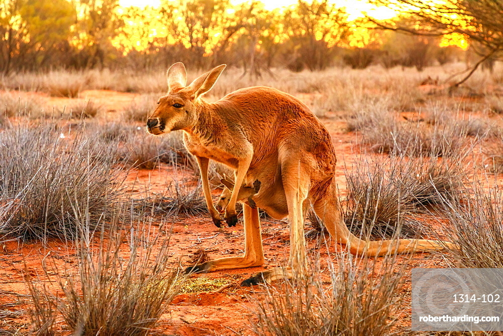 Side view of red kangaroo (Macropus rufus) with joey in its pouch, standing on the red sand of Outback central Australia, at sunset, Red Center, Northern Territory, Australia, Pacific
