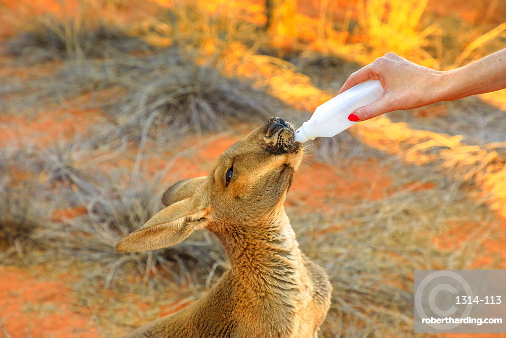 Closeup of baby Kangaroo orphan being bottle fed milk by tourist, Red Centre, Northern Territory, Australia, Pacific