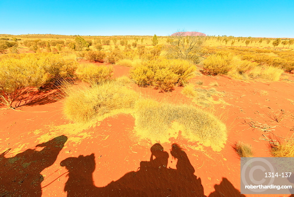 Camel riding in Australian desert with Uluru (Ayers Rock) in the distance, Outback, Northern Territory, Australia, Pacific