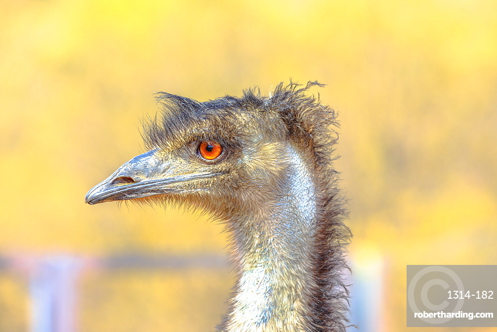 Emu, Dromaius novaehollandiae, cultural icon of Australia. The bird features prominently in Indigenous Australian mythology.