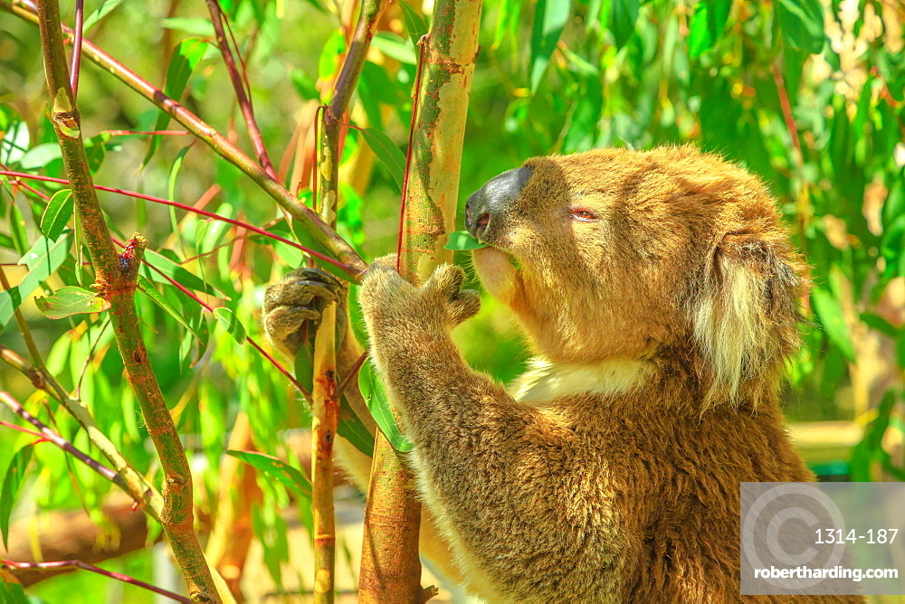 Portrait of adult koala bear eating eucalyptus leaves at Phillip Island in Victoria, Australia. Many forests are destroyed by bushfires and Koalas are placed in Australian centers and reserves.