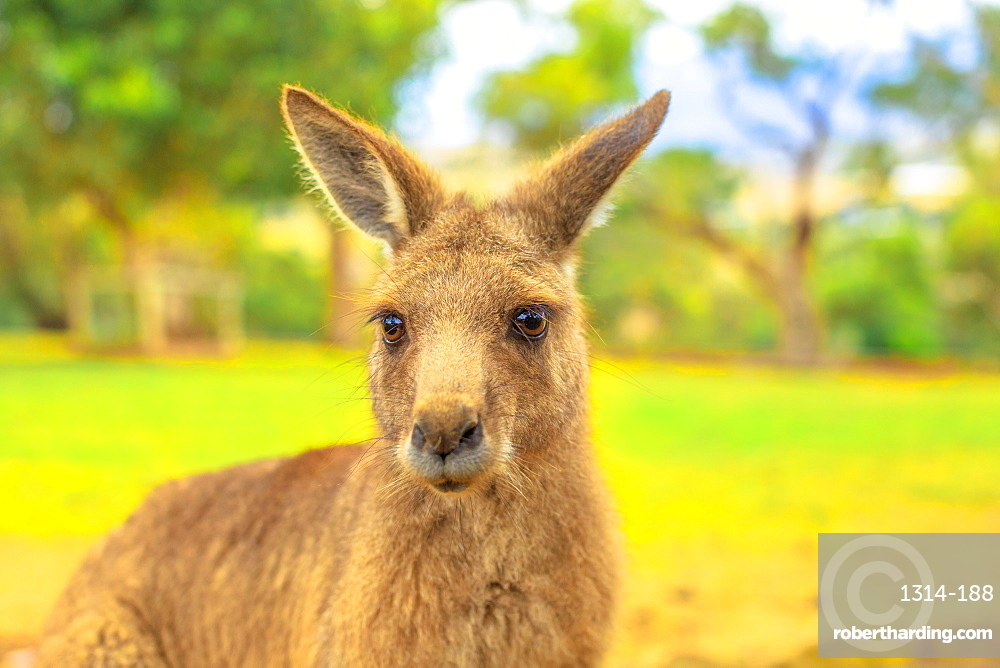 Portrait of front view of kangaroo in nature. Green grass on blurred background.