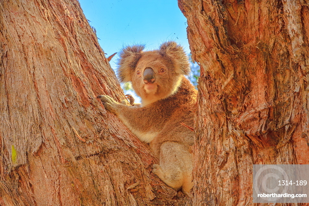 Front view of koala bear, Phascolarctos cinereus, standing on a large eucalyptus trunk in Great Otway National Park along Great Ocean Road, Victoria, Australia.
