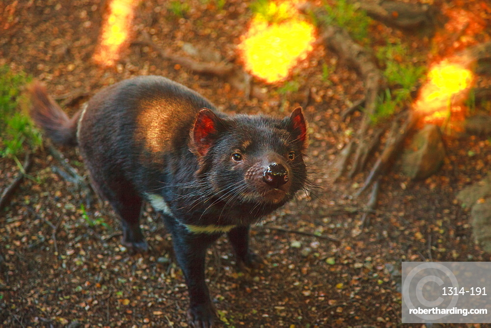 Tasmanian devil, Sarcophilus harrisii, standing. The devil is a Tasmanian icon. Trowunna Wildlife Sanctuary, Tasmania, Australia. When the marsupial doesn't eat, it looks very peaceful.