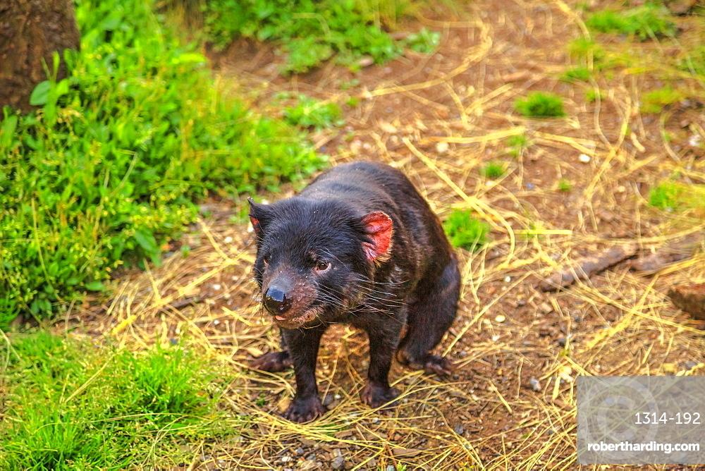 Front view of Tasmanian devil, Sarcophilus harrisii, standing on the trunk. The devil is a Tasmanian icon. Trowunna Wildlife Sanctuary, Tasmania, Australia.