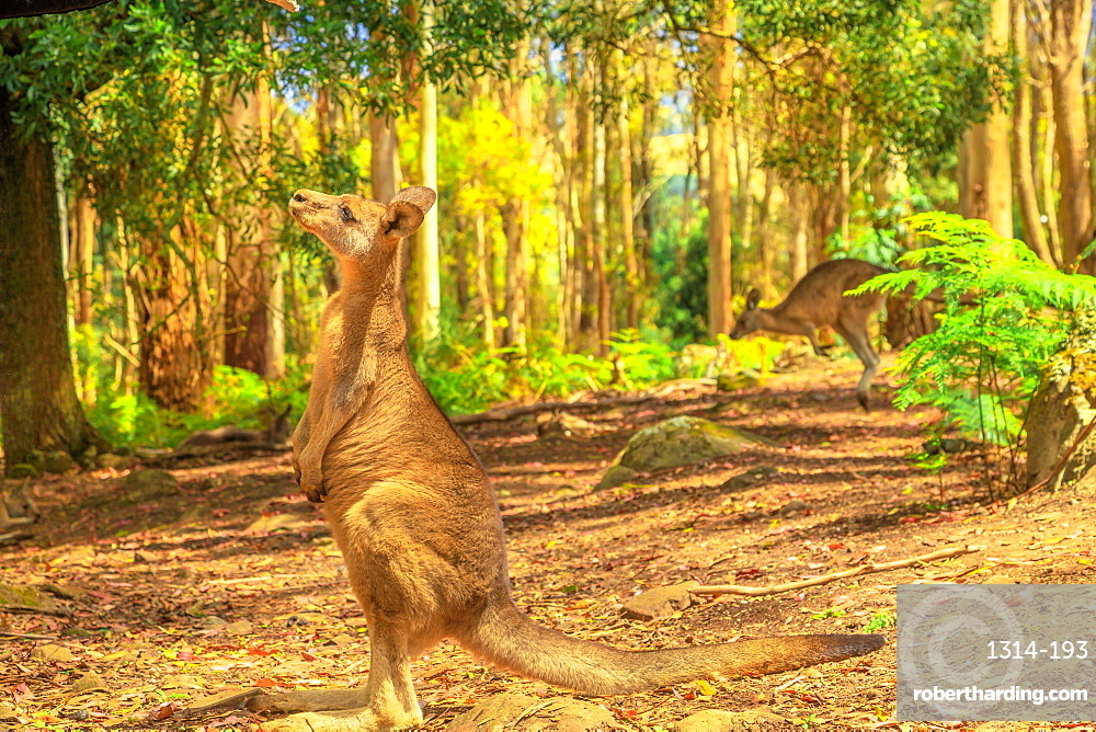 Side view of kangaroo standing upright in Tasmanian forests of Australia. Australian marsupial animal outdoor.