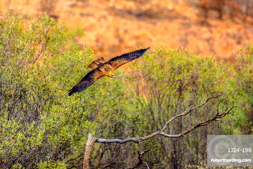 Wedge-tailed eagle, Aquila audax, is Australia's largest bird of prey, flies at a low altitude near the ground. Desert Park at Alice Springs in the Northern Territory, Central Australia.