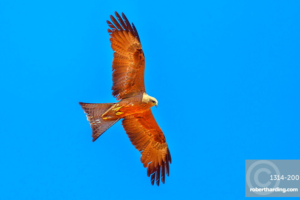 The whistling kite, Haliastur sphenurus, with gingery-brown feathers flies against the blue sky. Desert Park at Alice Springs near MacDonnell Ranges in Northern Territory, Central Australia.