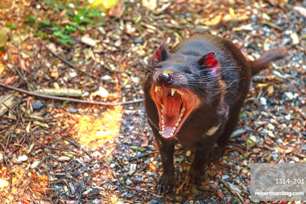 The shrill scream of Tasmanian devil, Sarcophilus harrisii, Tasmanian icon in Trowunna Wildlife Sanctuary, Tasmania, Australia.
