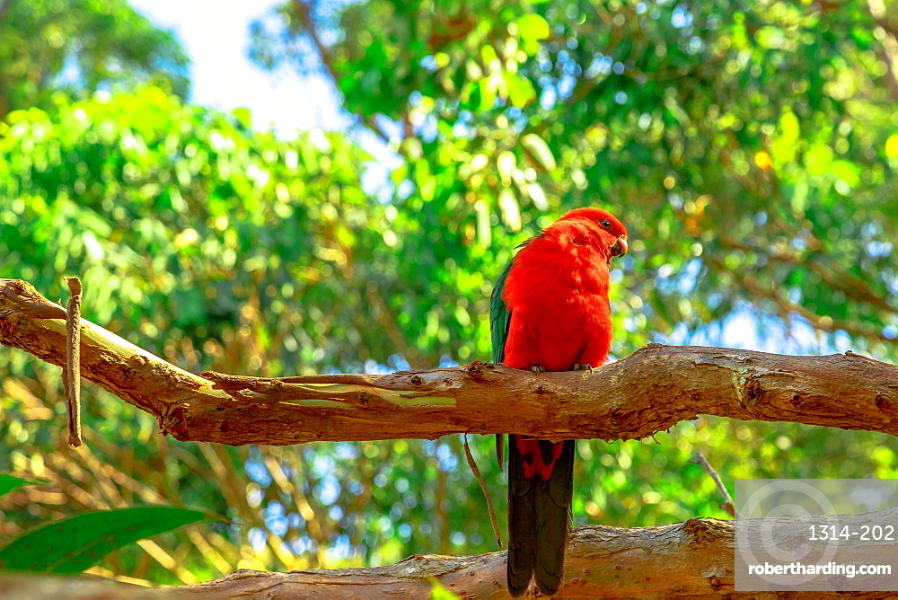 Front view of Australian King-Parrot, Alisterus scapularis, on a tree branch in a wilderness, a popular tourist destination of Pebbly Beach in Murramarang National Park, New South Wales, Australia.