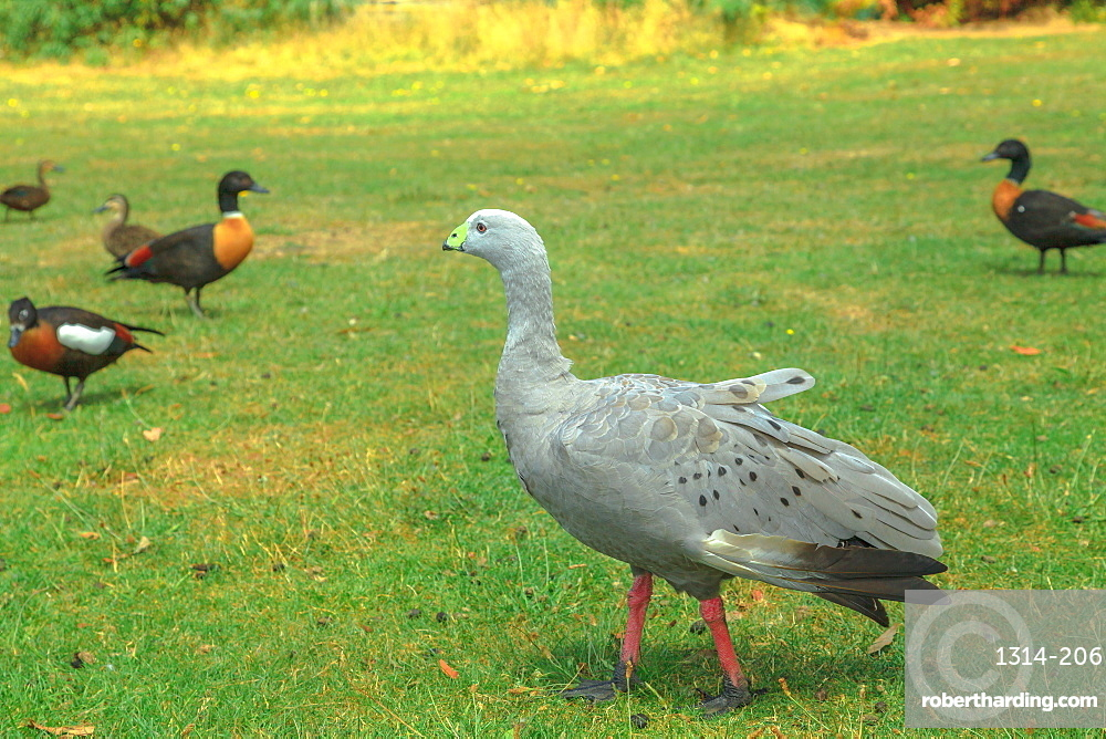 One Cape Barren Goose, Cereopsis novaehollandiae, standing on a green lawn. It is a large goose resident in southern Australia.