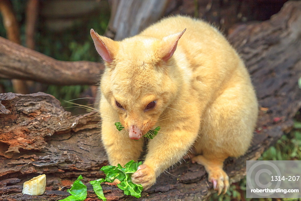 Golden brushtail possum eating. The light color is a genetic mutation of common Australian possums that lives only in Tasmania. Australian wildlife in nature.