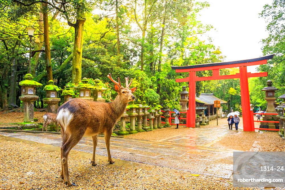 Wild deer and red Torii gate of Kasuga Taisha Shine, one of the most popular temples, Nara Park, Nara, Japan, Asia