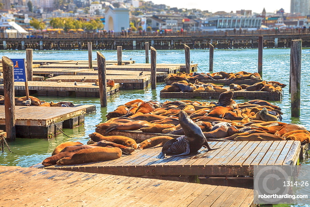 Sea lions resting on Pier 39, San Francisco, California, United States of America, North America