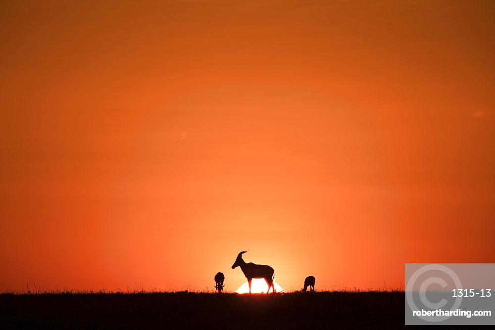 Topis, medium-sized antelopes, in front of the rising sun, Maasai Mara, Kenya, East Africa, Africa