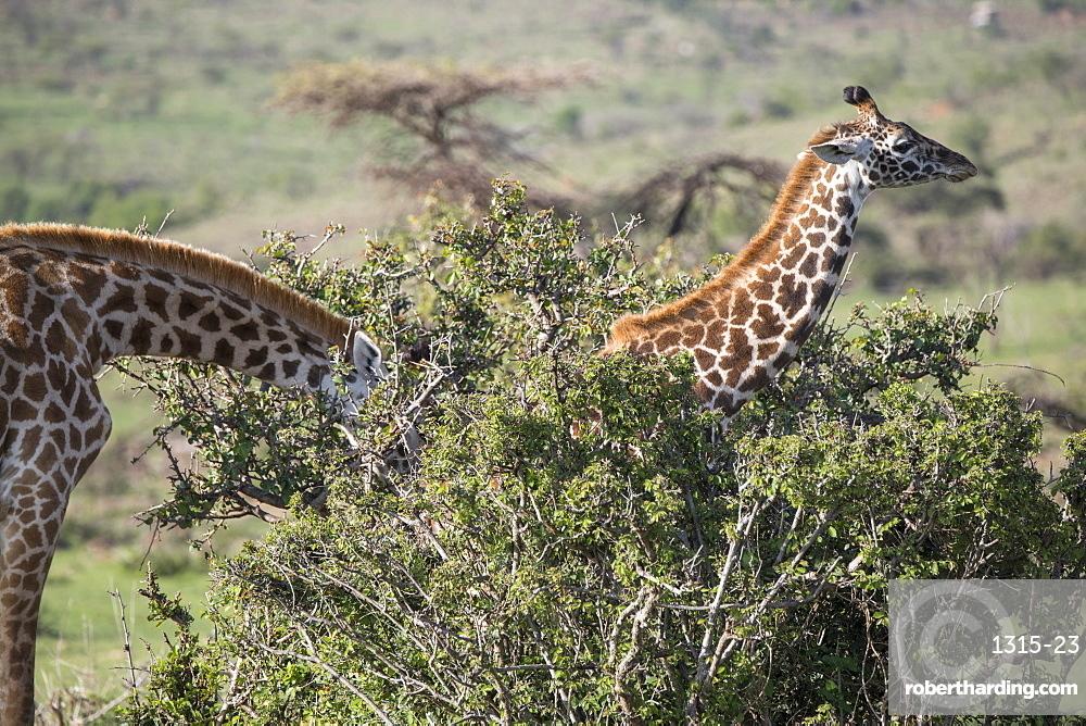 Giraffes, Maasai Mara, Kenya, East Africa, Africa