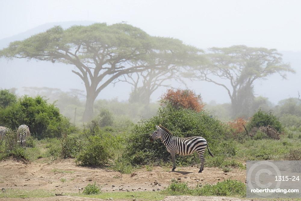 Zebra under an Acacia tree in dusty Amboseli National Park, Kenya, East Africa, Africa